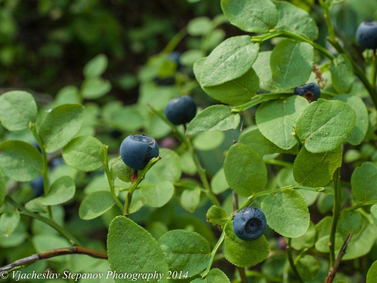 Черника обыкновенная (Vaccinium myrtillus); Автор фото - Вячеслав Степанов