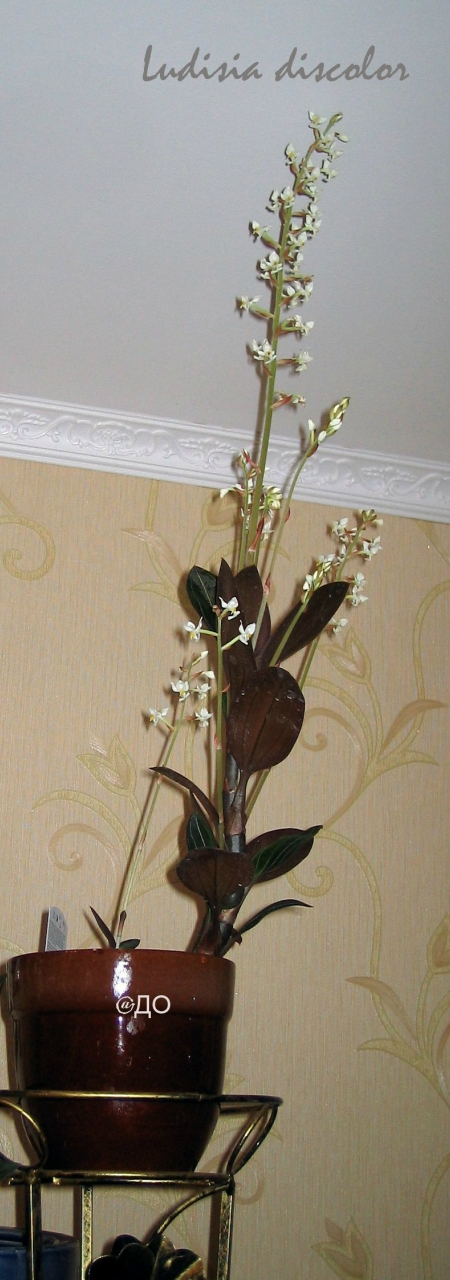 Драгоценная орхидея Лудизия, цветение 2010