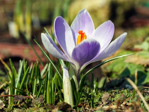 Куда весной без крокусов :)))