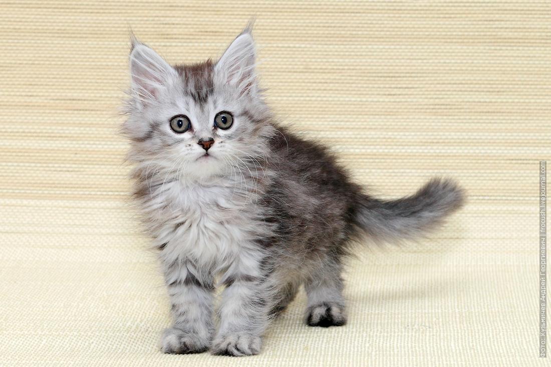 купить мейнкун котенок