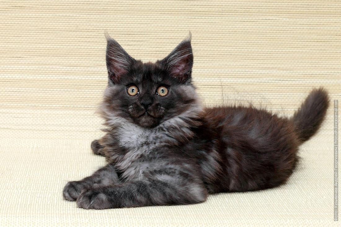 котенок мейн-кун продажа в Москве