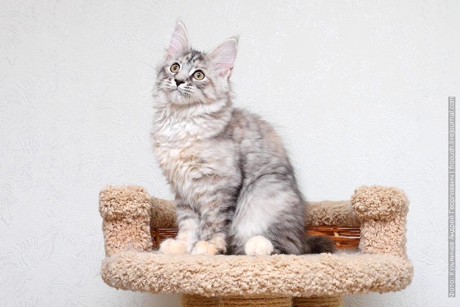 котята мейнкун продажа из питомника