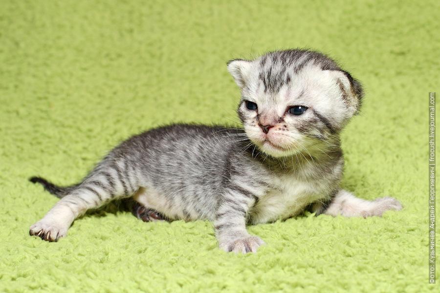 продажа Бомбеи нетрадиционных окрасов котята