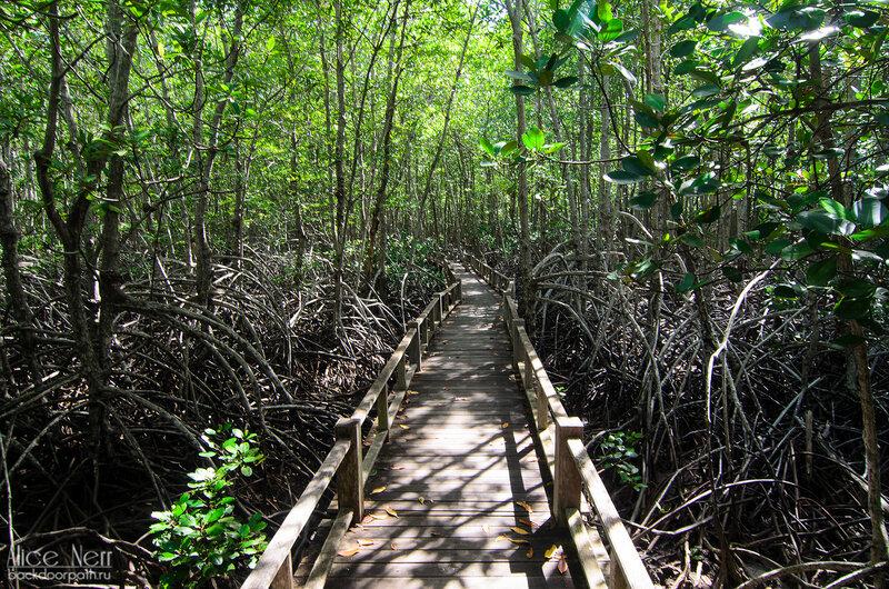 Деревянные настилы через мангры