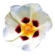 лабданум аромашарм