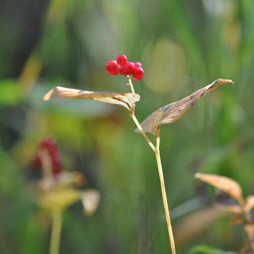 Майник двулистный (Maianthemum bifolium) Автор фото: Владимир Брюхов