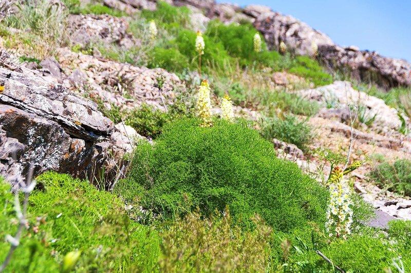 Эремурус млечноцветковый