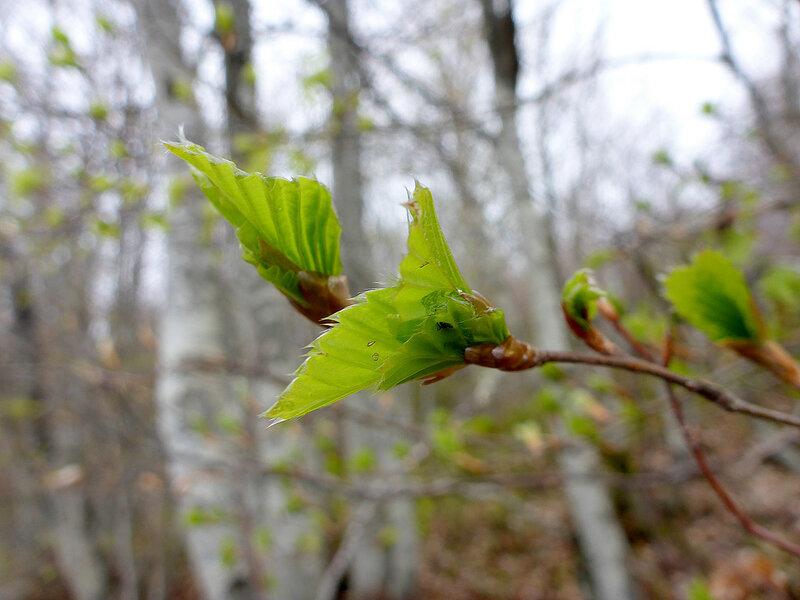 листья распускаются в мае в горах в парке голия (голиjа)