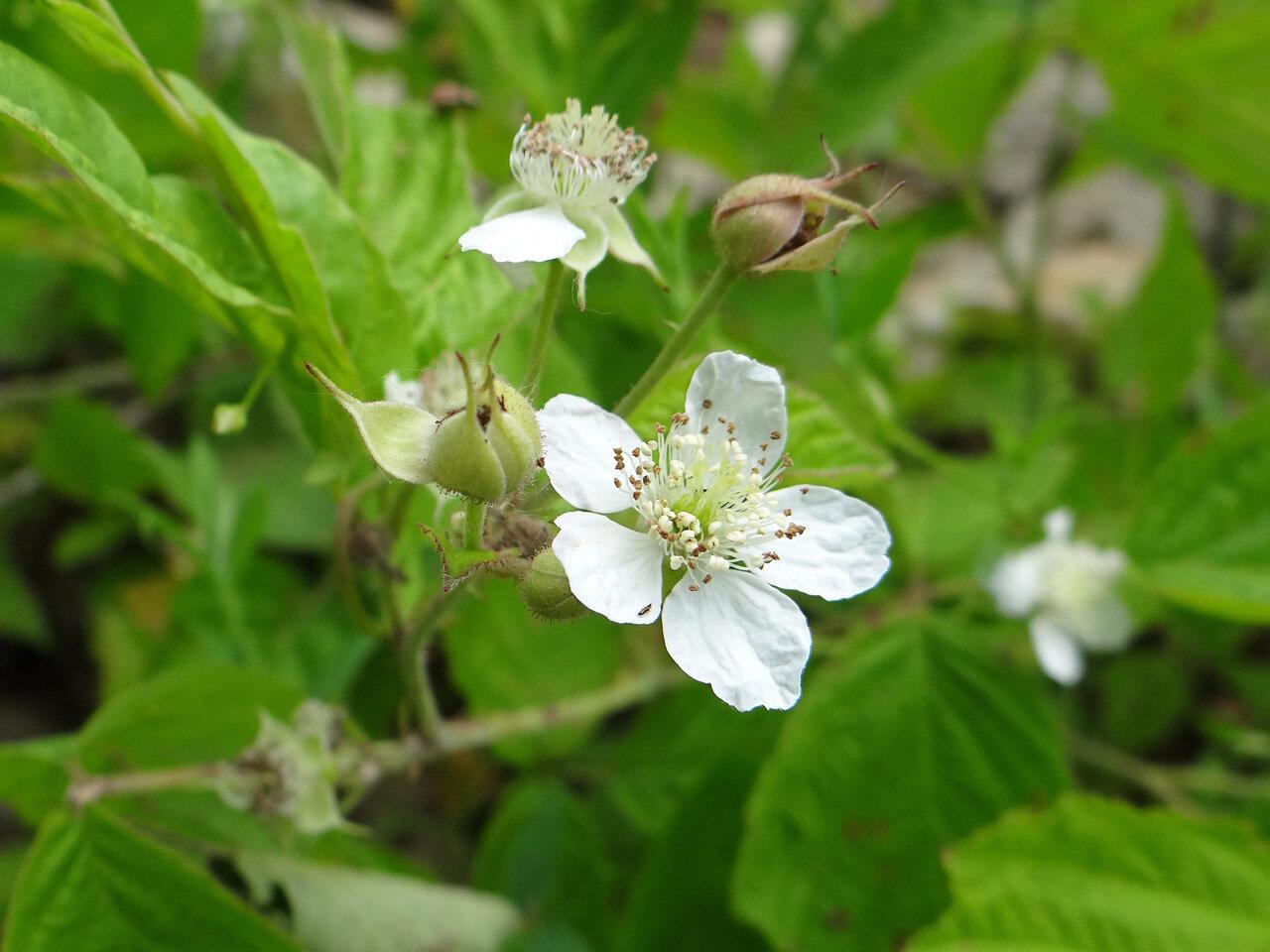 Ежевика обыкновенная (Rubus caesius). Автор фото:Привалова Марина