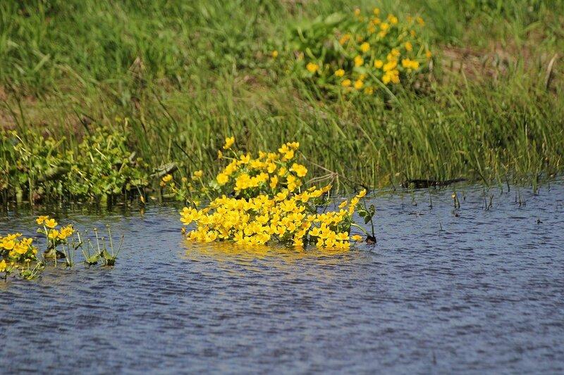 Яранские зарисовки: цветы калужницы болотной в небольшом болотце