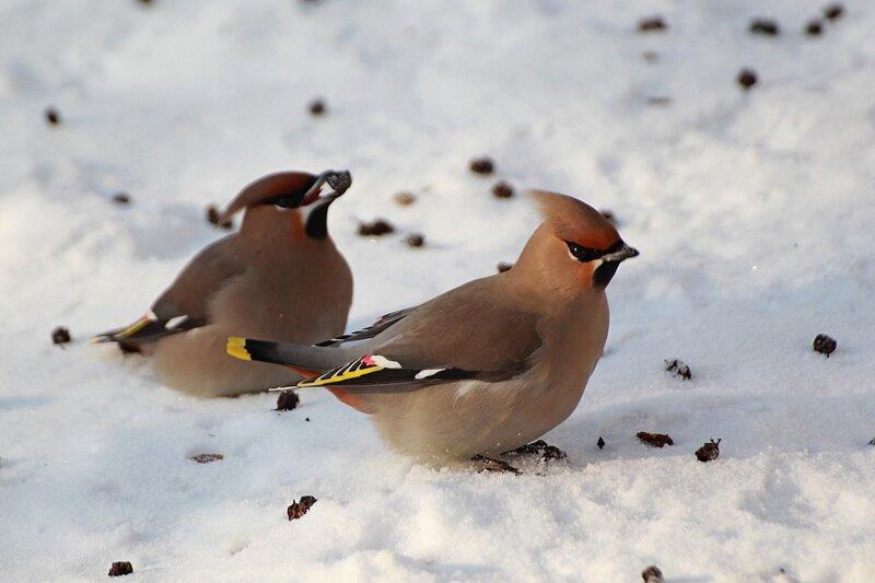 Два свиристеля на снегу