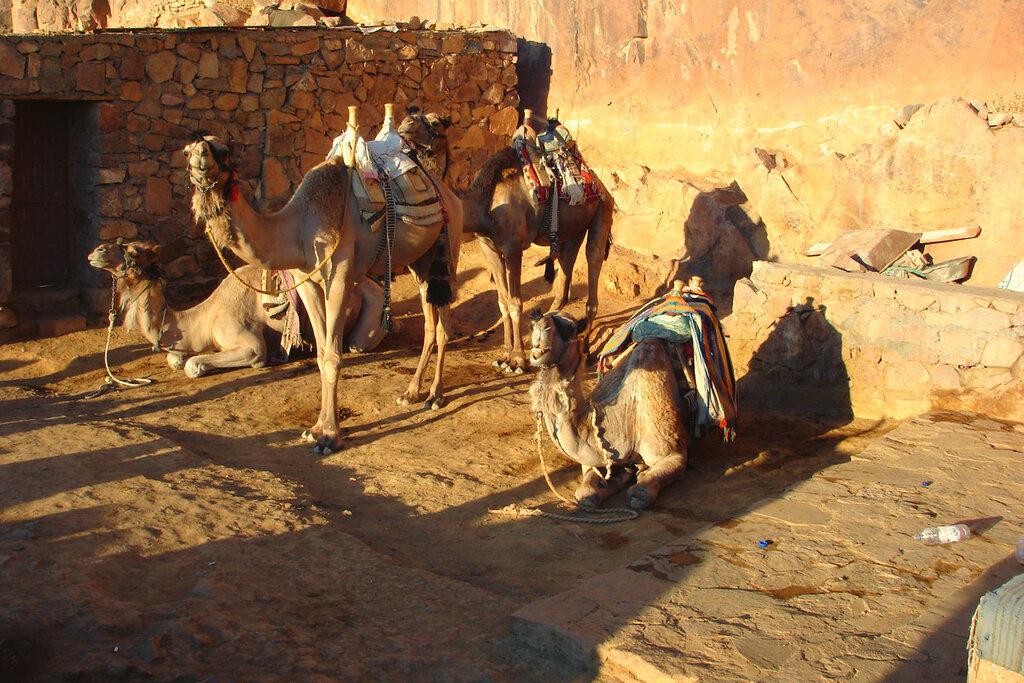 Фото 10. Дромадеры Египта. Отзывы об отдыхе в Египте и восхождении на гору Моисея