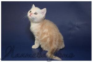 кремовый серебристый мраморный британский короткошерстный кот