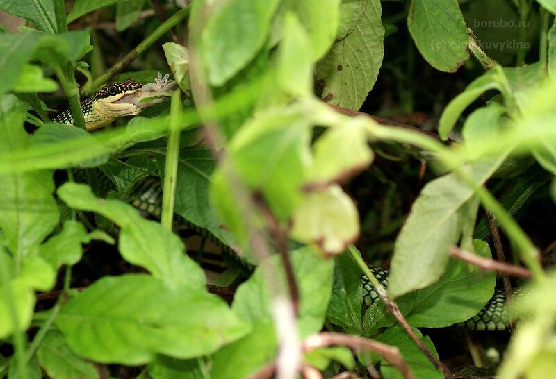 Летающая райская змея (Chrysopelea paradisi) с добычей