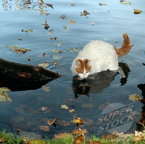 Ванская кошка