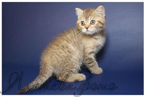 шоколадная черепаховая пятнистая британская короткошерстная кошка