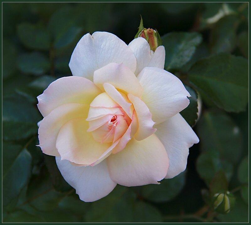 Лепестки белых роз...
