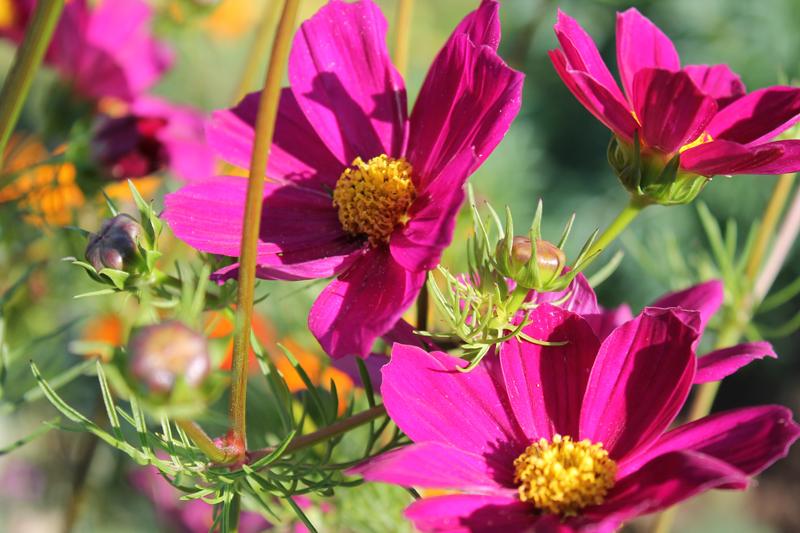 Какие цветы можно посадить под зиму - 20 однолетников-Космея