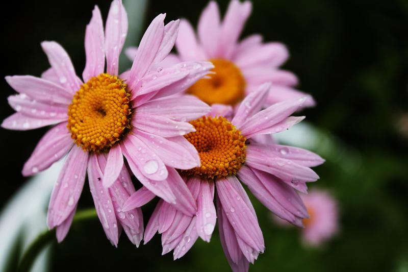 Какие цветы можно посадить под зиму - 20 однолетников-Пиретрум