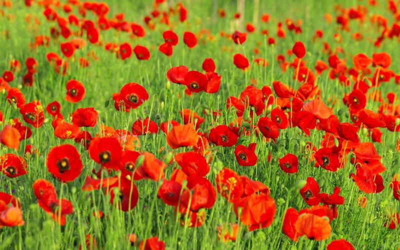 Красные маки в поле зелёном.