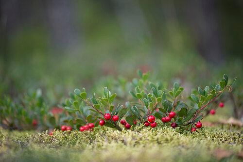 Толокнянка обыкновенная (Arctostaphylos uva-ursi) Автор фото: Владимир Брюхов