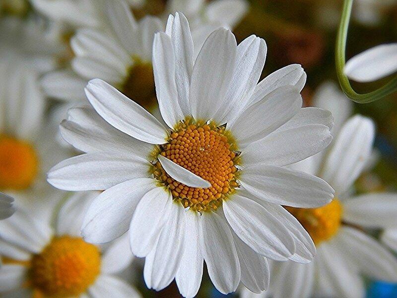 Белая ромашка - солнце в серединке