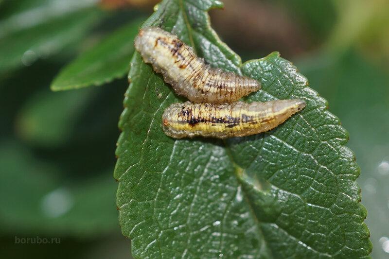 личинка мухи журчалки фото найдете здесь