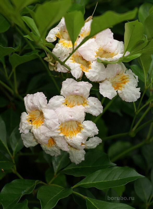 Радермахера (Radermachera), сем. Бигнониевые