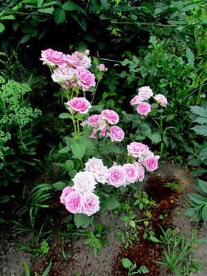 роза Изображение 362.jpg