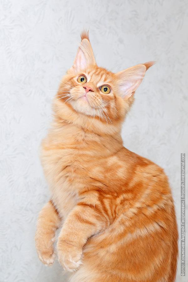 фото рыжая кошечка Мейн-кун