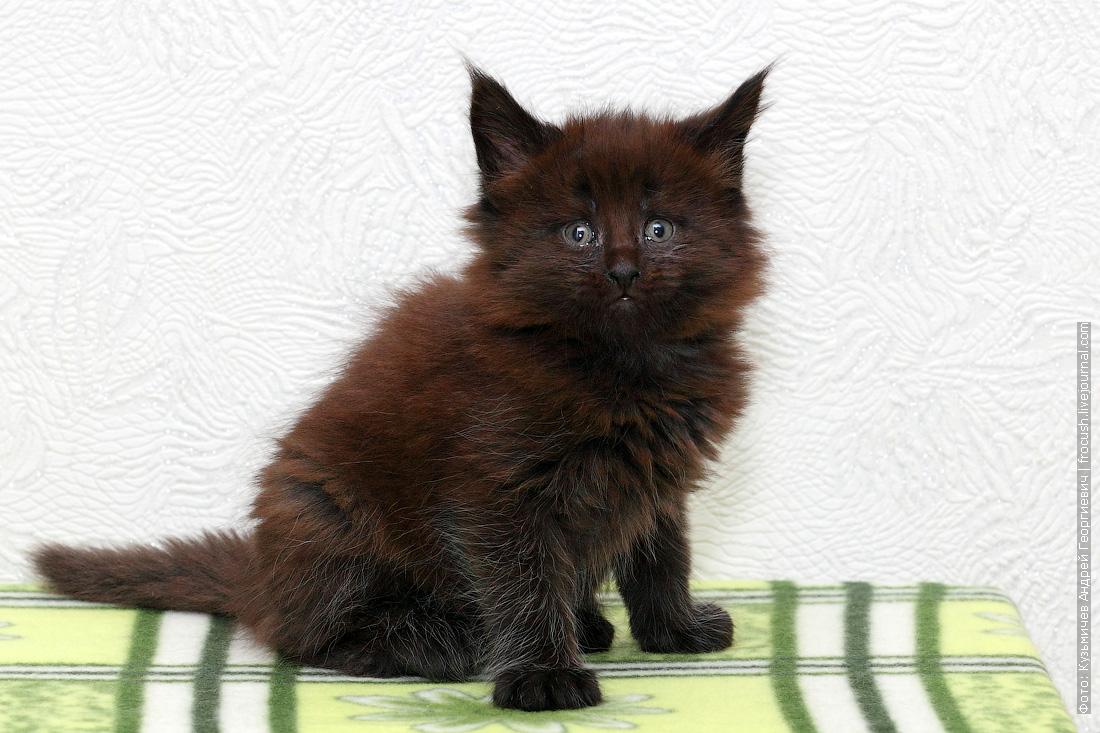 котенок Мейн-кун из питомника в Москве