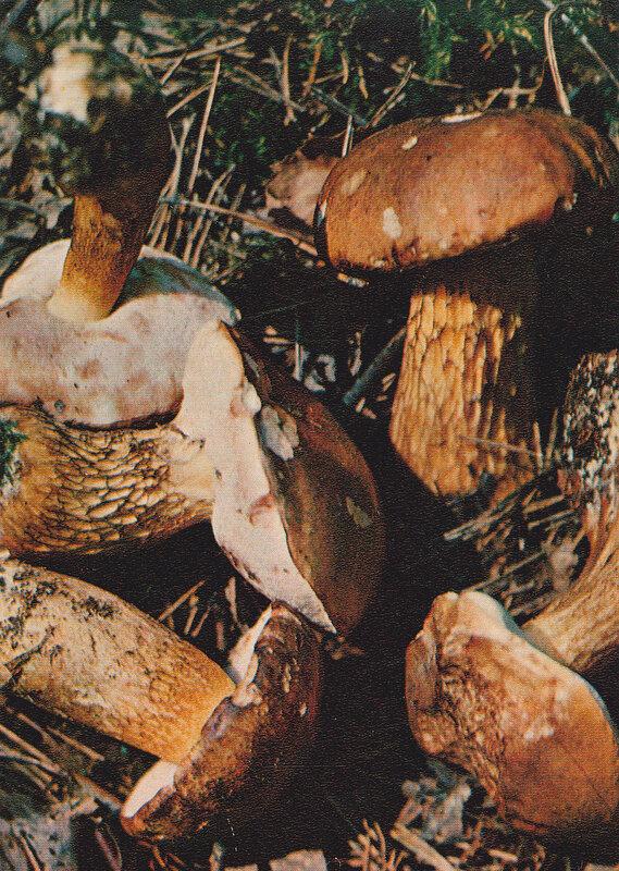 Желчный гриб (Ядовит)
