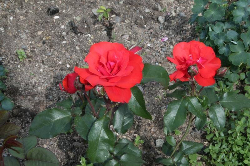 Фотоальбом «Лучшее из сада»-розы