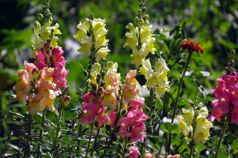 Какие цветы можно посадить под зиму - 20 однолетников-Львиный зев