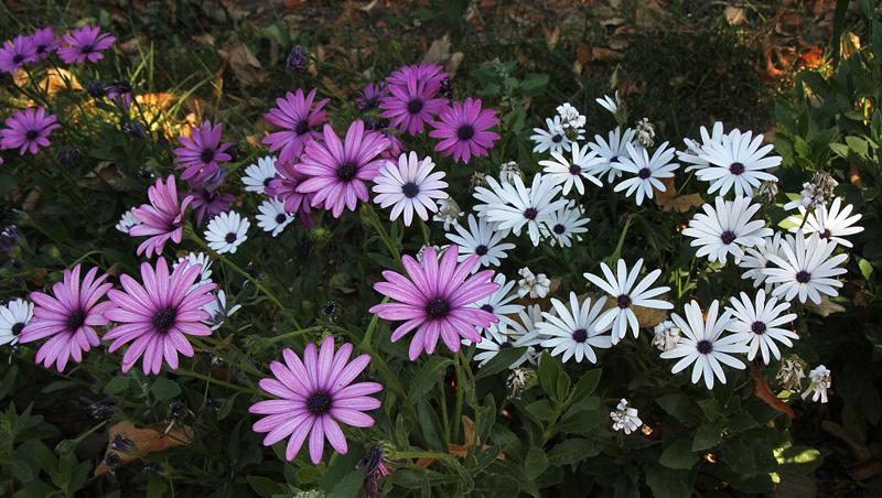 Какие цветы можно посадить под зиму - 20 однолетников-Диморфотека