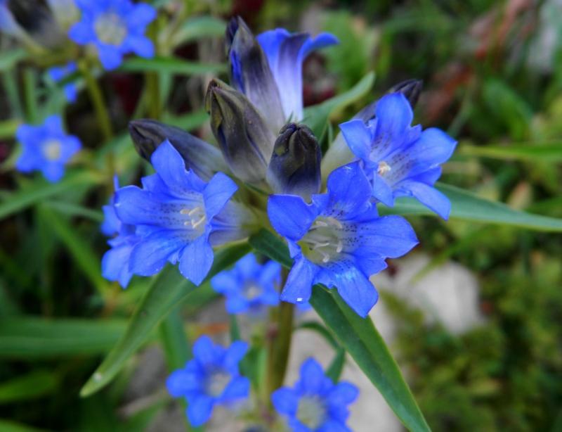 Какие цветы можно посадить под зиму - 24 многолетника-Горечавка
