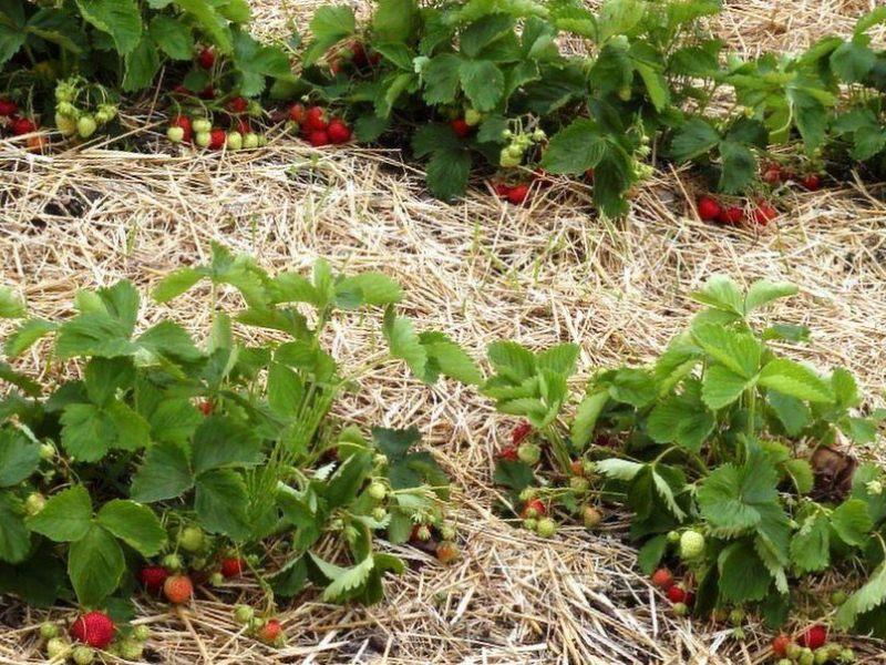 Земляника садовая выращивание и уход после сбора урожая 23