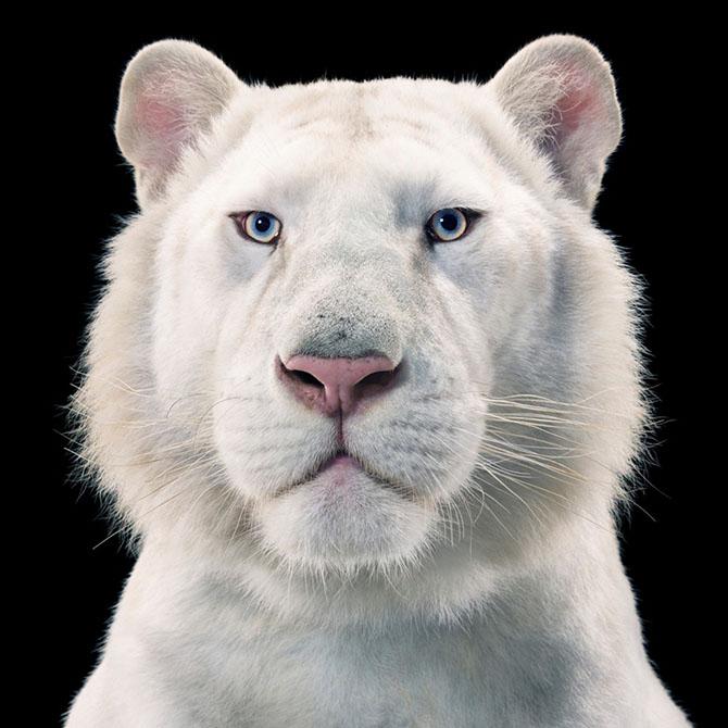 Белый тигр на чёрном фоне. Взгляд животного пронизывает зрителя насквозь.