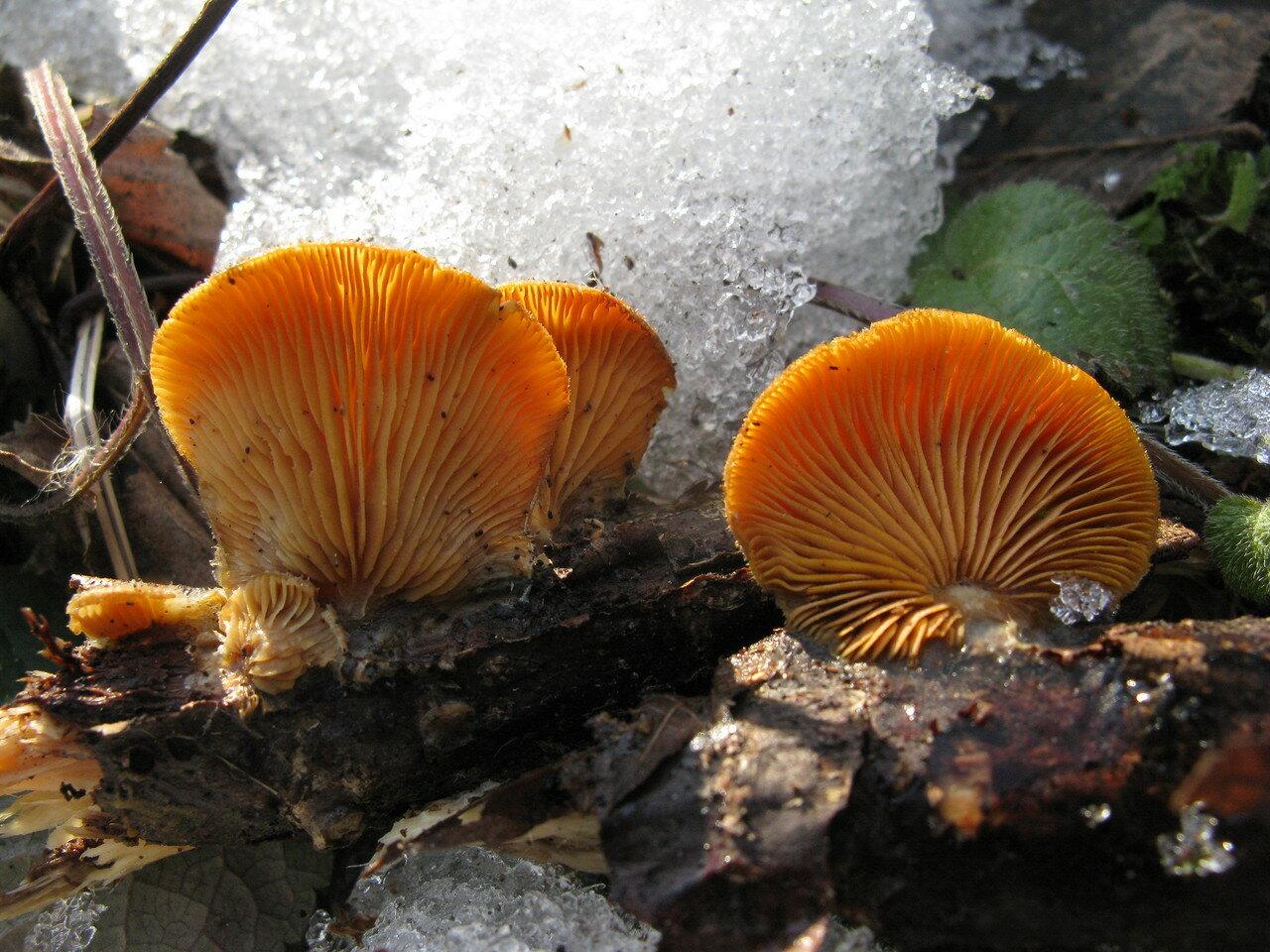 Вешенка <span class=wiki>оранжевая</span> (Phyllotopsis nidulans). Автор фото:Станислав Кривошеев