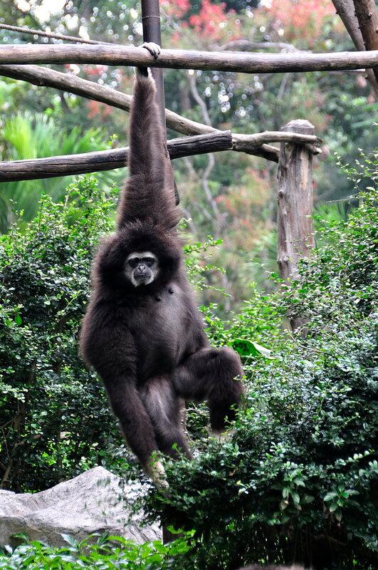 Гиббон в зоопарке
