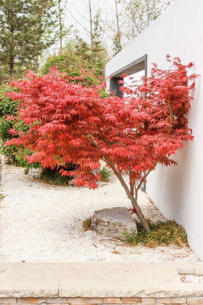Клен с красными листьями