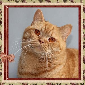 БравоБРИ Елизабет-Квин d британская короткошерстная кошка красного окраса