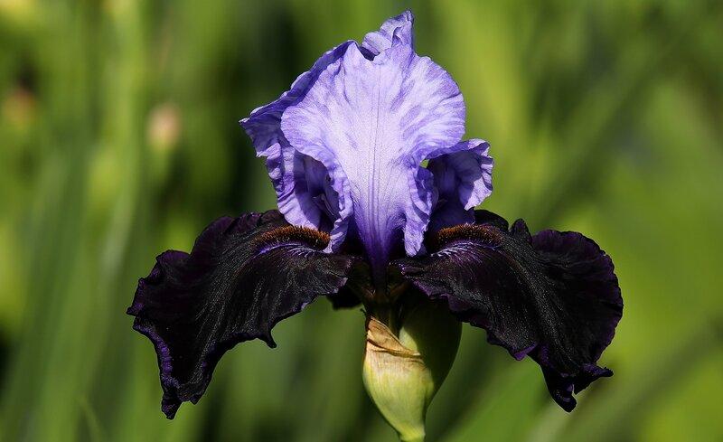 Iris Dangerous Mood