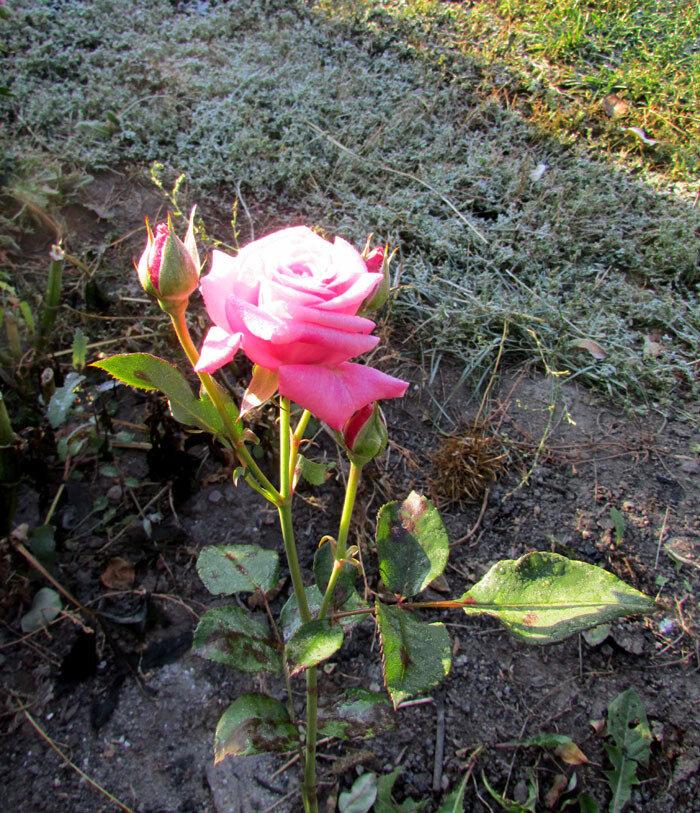 октябрьская роза IMG_5643.jpg