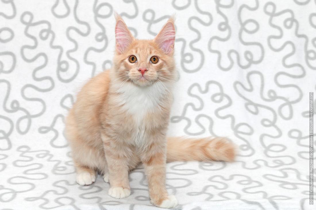 купить в москве котенка мейн кун