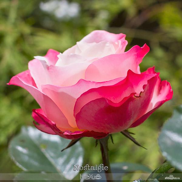 Я люблю все цветы, выпуск 116 | Роза - «Королева цветов» | «Nostalgie», «Gloria Dei» и «Velvet Queen».