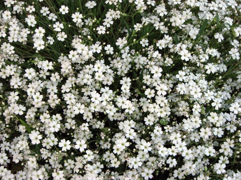 Какие цветы можно посадить под зиму - 24 многолетника-Гипсофила