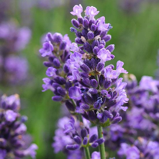 Многолетние цветы, переносящие жару-Лаванда «SuperBlue»