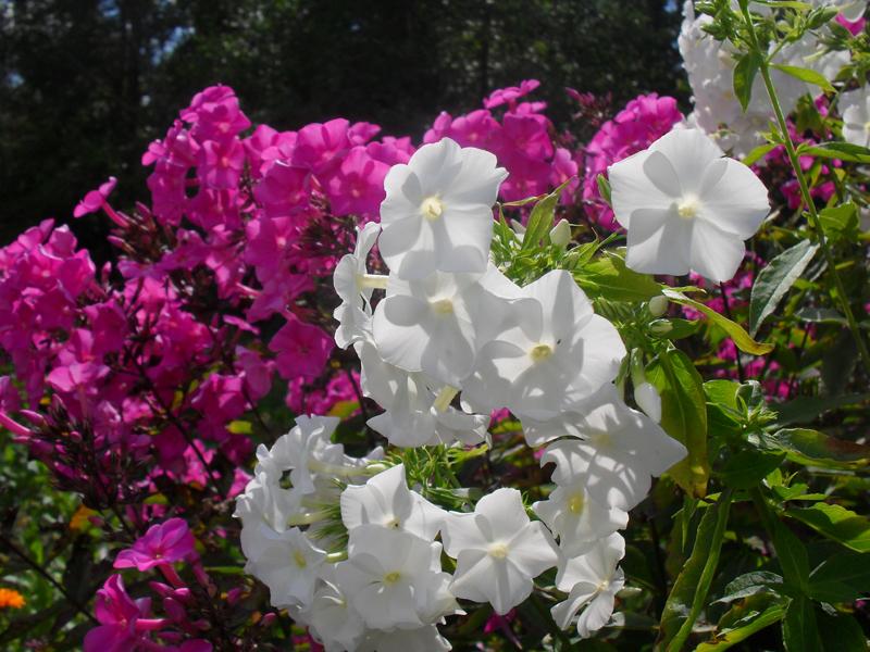 Какие цветы можно посадить под зиму - 24 многолетника-Флокс многолетний