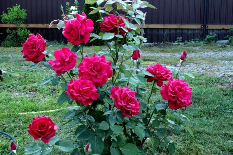 Необычный способ сохранения роз свежими длительное время